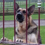 Angry_German_Shepherd_glaring_through_the_fence
