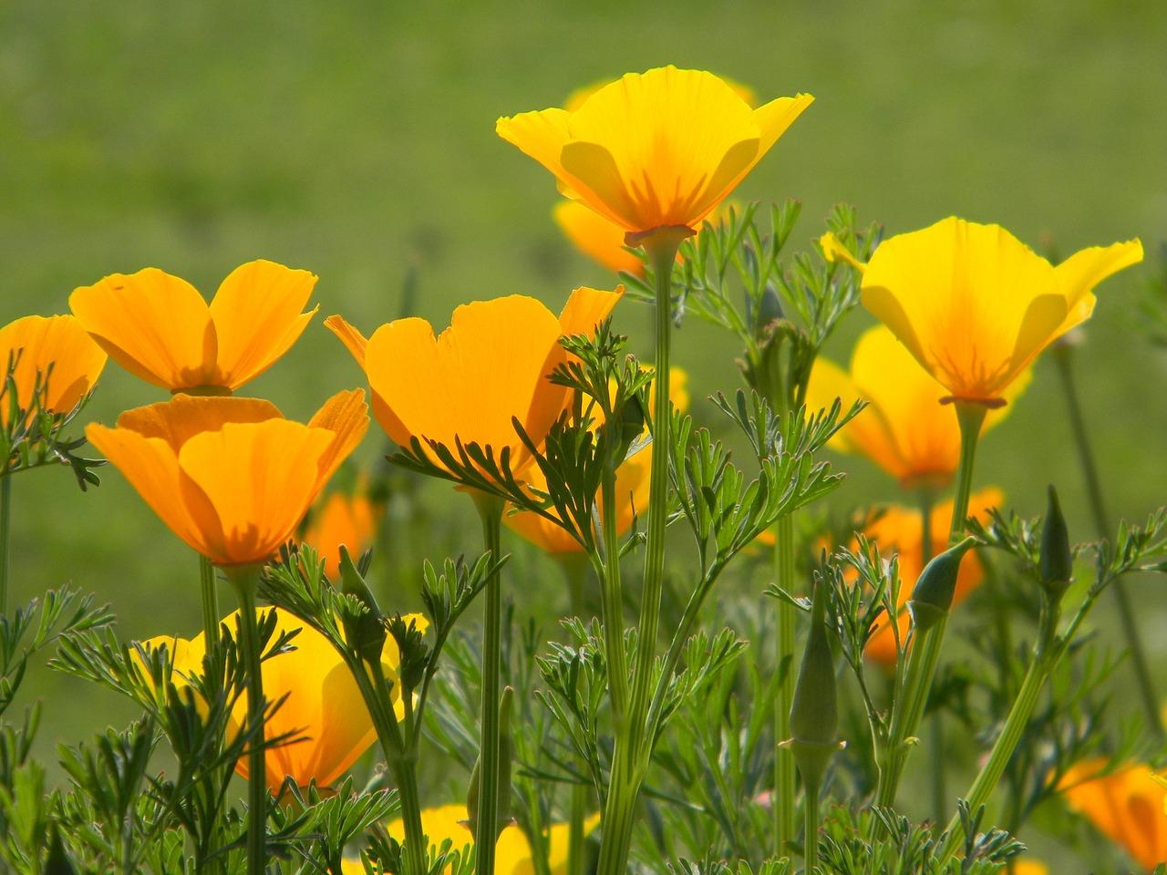 poppy-1284621_1280