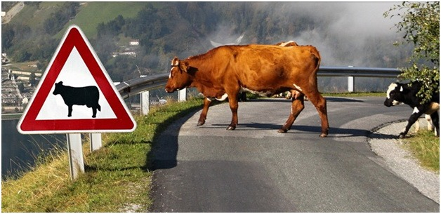 Increased Auto Collisions with Farm Animals