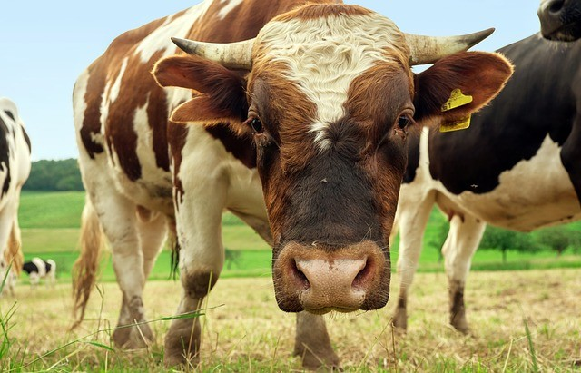 Open Range Laws Impact Liability in Livestock Accidents